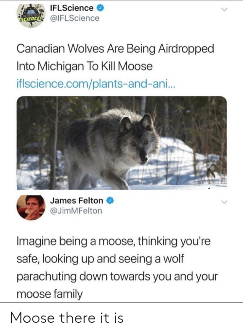 There It Is: IFLScience >  @IFLScience  SCIENCE  Canadian wolves Are Being Airdropped  Into Michigan To Kill Moose  iflscience.com/plants-and-ani...  James Felton  @JimMFelton  Imagine being a moose, thinking you're  safe, looking up and seeing a wolf  parachuting down towards you and your  moose family Moose there it is