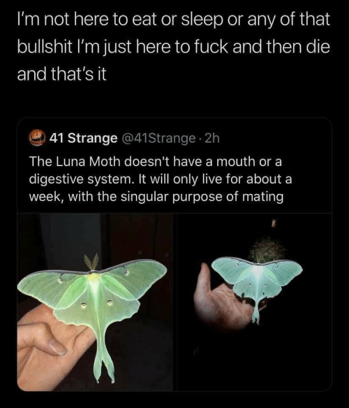Fuck, Live, and Bullshit: I'm not here to eat or sleep or any of that  bullshit I'm just here to fuck and then die  and that's it  41 Strange @41Strange 2h  The Luna Moth doesn't have a mouth or a  digestive system. It will only live for about a  week, with the singular purpose of mating