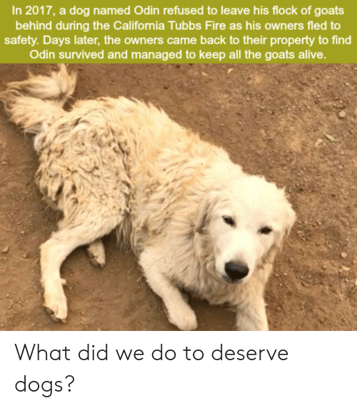 Odin: In 2017, a dog named Odin refused to leave his flock of goats  behind during the California Tubbs Fire as his owners fled to  safety. Days later, the owners came back to their property to find  Odin survived and managed to keep all the goats alive. What did we do to deserve dogs?