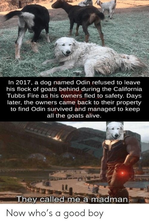 Odin: In 2017, a dog named Odin refused to leave  his flock of goats behind during the California  Tubbs Fire as his owners fled to safety. Days  later, the owners came back to their property  to find Odin survived and managed to keep  all the goats alive.  They called me a madman Now who's a good boy
