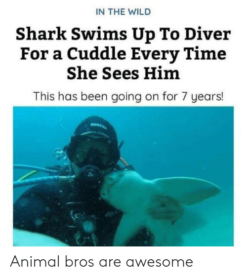 Shark, Animal, and Time: IN THE WILD  Shark Swims Up To Diver  For a Cuddle Every Time  She Sees Him  This has been going on for 7 years! Animal bros are awesome
