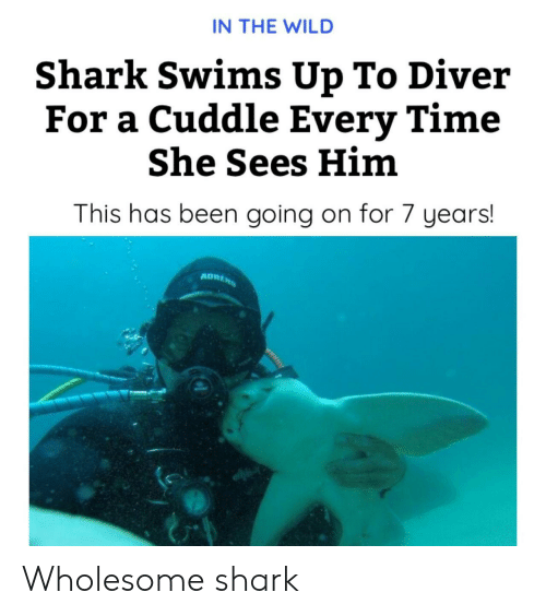 Shark, Time, and Wild: IN THE WILD  Shark Swims Up To Diver  For a Cuddle Every Time  She Sees Him  This has been going on for 7 years!  ADRENS Wholesome shark