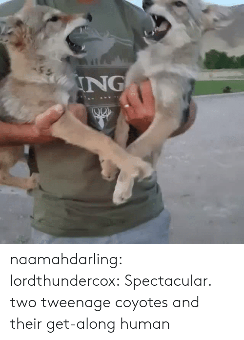 spectacular: ING naamahdarling: lordthundercox: Spectacular. two tweenage coyotes and their get-along human