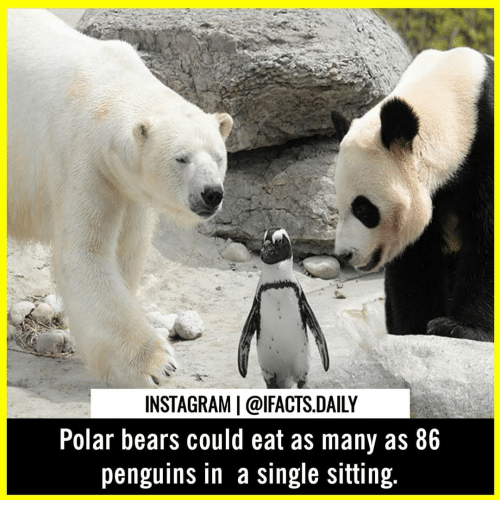 polar bears: INSTAGRAM |@lFACTS.DAILY  Polar bears could eat as many as 86  penguins in a single sitting