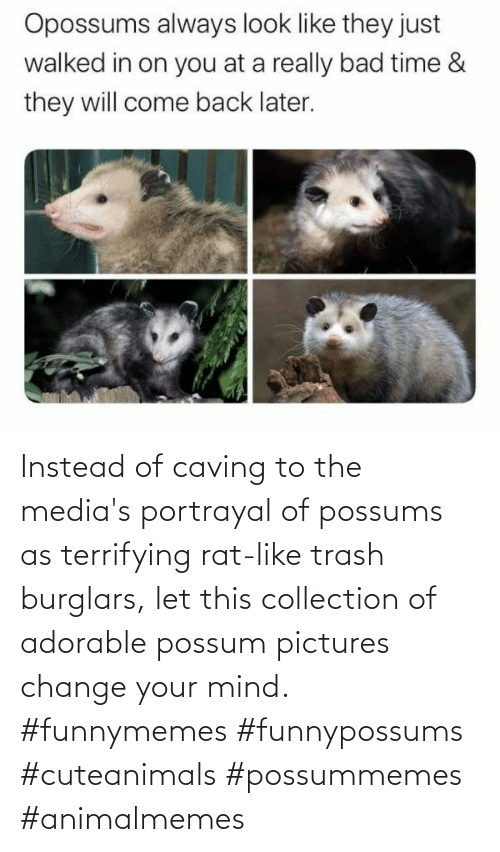 Change: Instead of caving to the media's portrayal of possums as terrifying rat-like trash burglars, let this collection of adorable possum pictures change your mind. #funnymemes #funnypossums #cuteanimals #possummemes #animalmemes