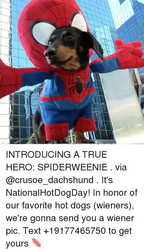 wieners: INTRODUCING A TRUE HERO: SPIDERWEENIE . via @crusoe_dachshund . It's NationalHotDogDay! In honor of our favorite hot dogs (wieners), we're gonna send you a wiener pic. Text +19177465750 to get yours 🌭