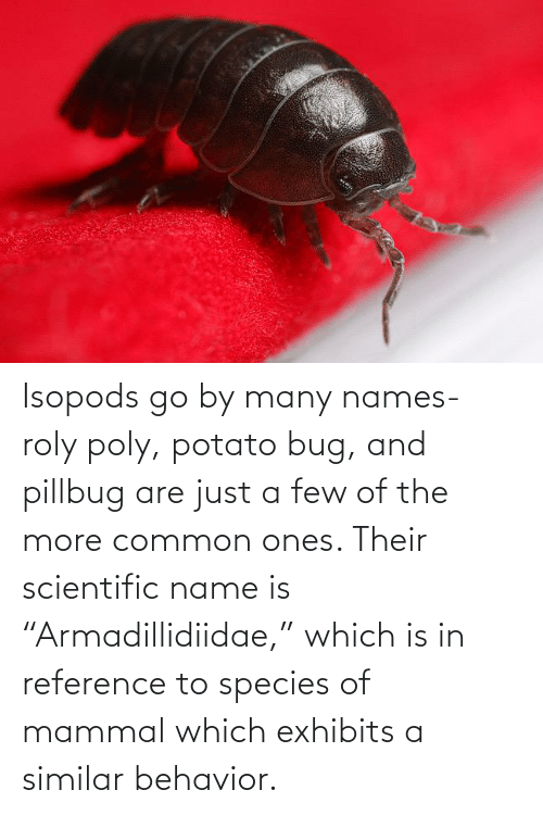 """Potato: Isopods go by many names- roly poly, potato bug, and pillbug are just a few of the more common ones. Their scientific name is """"Armadillidiidae,"""" which is in reference to species of mammal which exhibits a similar behavior."""