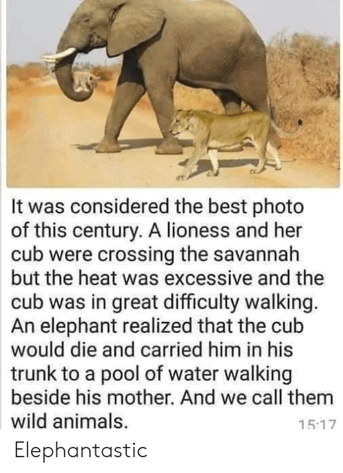 trunk: It was considered the best photo  of this century. A lioness and her  cub were crossing the savannah  but the heat was excessive and the  cub was in great difficulty walking.  An elephant realized that the cub  would die and carried him in his  trunk to a pool of water walking  beside his mother. And we call them  wild animals,  15.17 Elephantastic