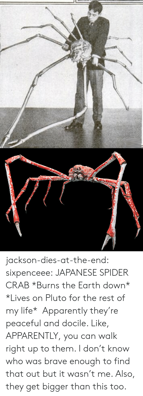 Apparently, Life, and Spider: jackson-dies-at-the-end: sixpenceee:  JAPANESE SPIDER CRAB *Burns the Earth down* *Lives on Pluto for the rest of my life*    Apparently they're peaceful and docile. Like, APPARENTLY, you can walk right up to them. I don't know who was brave enough to find that out but it wasn't me.  Also, they get bigger than this too.