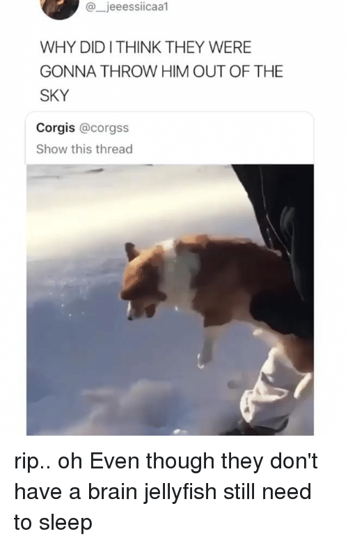 Corgis: @jeeessiicaal  WHY DIDITHINK THEY WERE  GONNA THROW HIM OUT OF THE  SKY  Corgis @corgss  Show this thread rip.. oh Even though they don't have a brain jellyfish still need to sleep