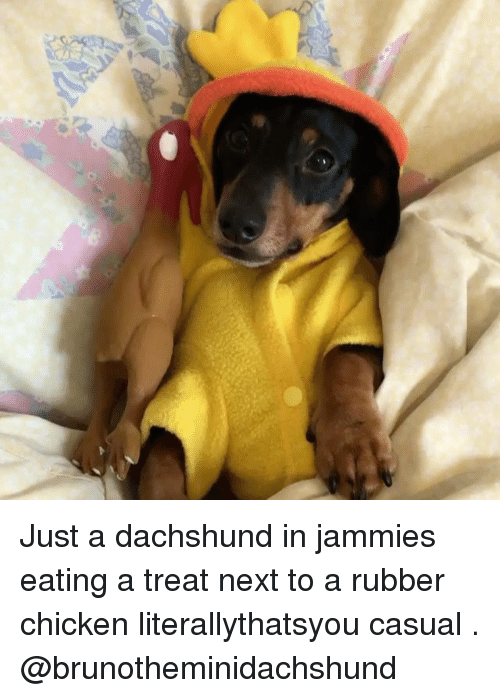 rubber chicken: Just a dachshund in jammies eating a treat next to a rubber chicken literallythatsyou casual . @brunotheminidachshund