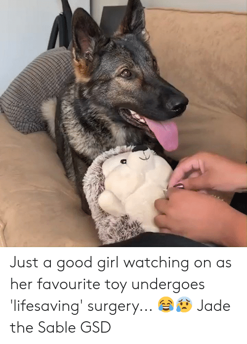 Dank, Girl, and Good: Just a good girl watching on as her favourite toy undergoes 'lifesaving' surgery... 😂😰  Jade the Sable GSD