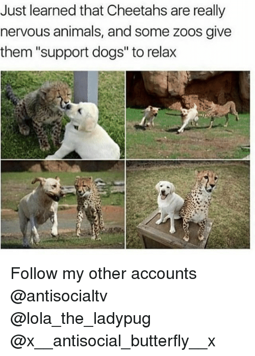 """lolas: Just learned that Cheetahs are really  nervous animals, and some zoos give  them """"support dogs"""" to relax Follow my other accounts @antisocialtv @lola_the_ladypug @x__antisocial_butterfly__x"""
