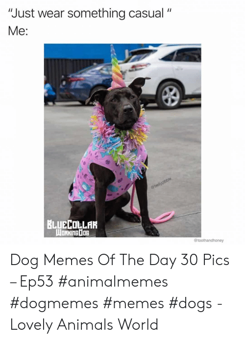 "Animals, Dogs, and Memes: ""Just wear something casual  Me:  @bellypibble  BLUECOLLAR  WORHINEDOB  @toothandhoney Dog Memes Of The Day 30 Pics – Ep53 #animalmemes #dogmemes #memes #dogs - Lovely Animals World"