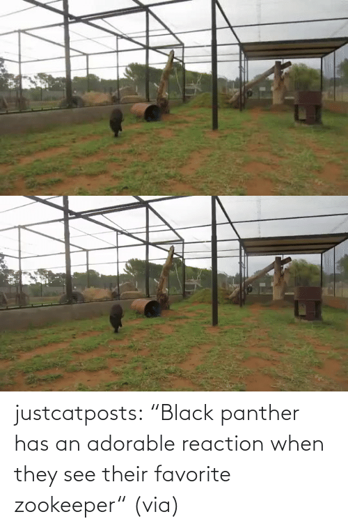 """Black Panther: justcatposts:  """"Black panther has an adorable reaction when they see their favorite zookeeper""""(via)"""