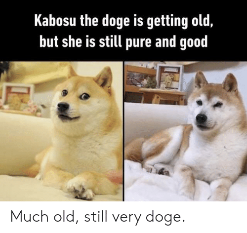 Doge: Kabosu the doge is getting old,  but she is still pure and good Much old, still very doge.