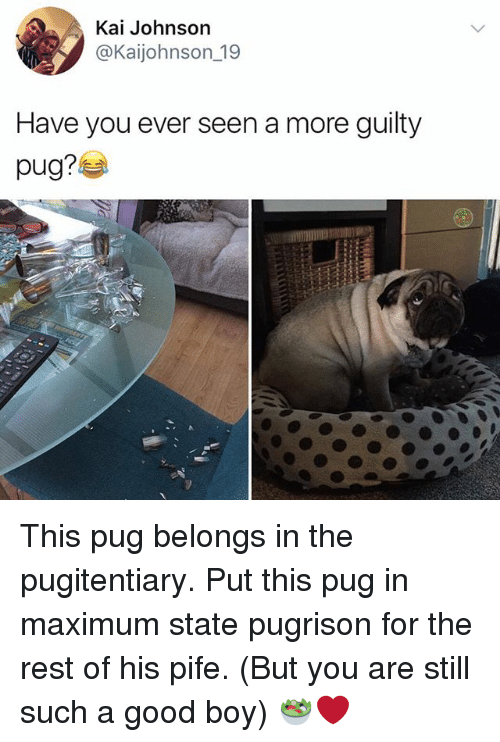 Pugged: Kai Johnson  @Kaijohnson 19  Have you ever seen a more guilty This pug belongs in the pugitentiary. Put this pug in maximum state pugrison for the rest of his pife. (But you are still such a good boy) 🥗❤️