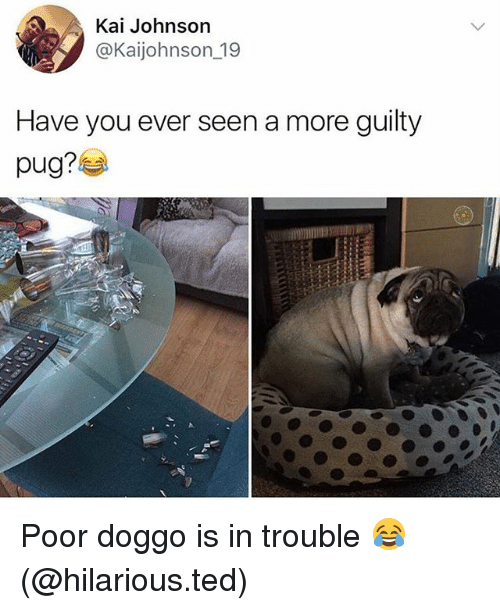 Pugged: Kai Johnson  @Kaijohnson_19  Have you ever seen a more guilty  pug? Poor doggo is in trouble 😂 (@hilarious.ted)
