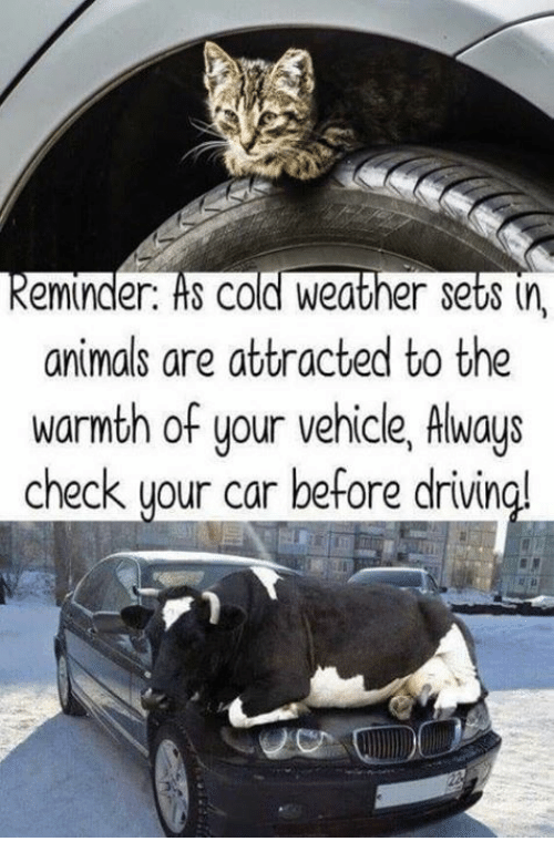 Animals, Dank, and Weather: keminder. ts cold Weather set8 (n,  animals are attracted to the  warmth of your vehicle, Always  check uour car before drivin