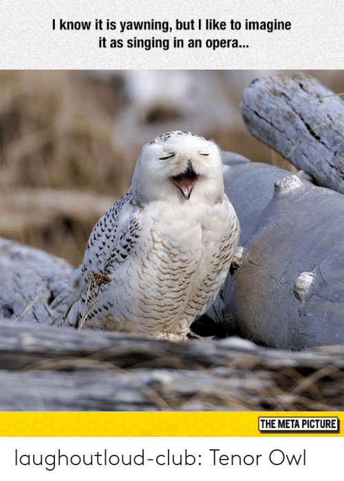 tenor: know it is yawning, but I like to imagine  it as singing in an opera...  THE META PICTURE laughoutloud-club:  Tenor Owl