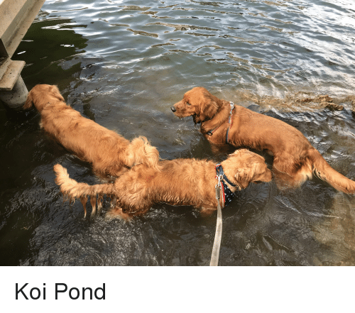 Koi and Pond: Koi Pond