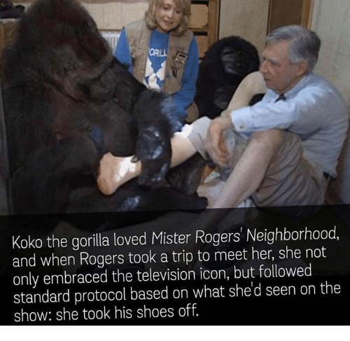 Shoes, Television, and Her: Koko the gorilla loved Mister Rogers' Neighborhood  and when Rogers took a trip to meet her, she not  only embraced the television icon, but followed  standard protocol based on what she d seen on the  show: she took his shoes off.