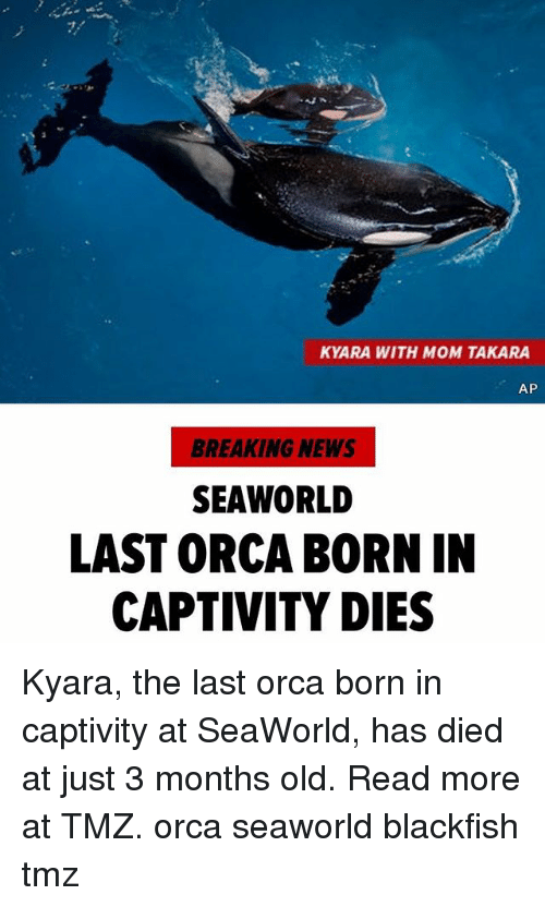 SeaWorld: KYARA WITH MOM TAKARA  AP  BREAKING NEWS  SEAWORLD  LAST ORCA BORN IN  CAPTIVITY DIES Kyara, the last orca born in captivity at SeaWorld, has died at just 3 months old. Read more at TMZ. orca seaworld blackfish tmz