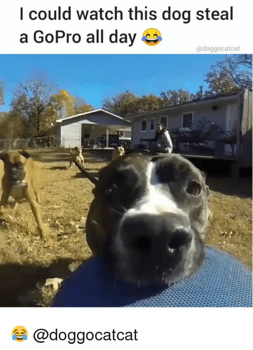 GoPro: l could watch this dog steal  a GoPro all day  @doggocatcat 😂 @doggocatcat