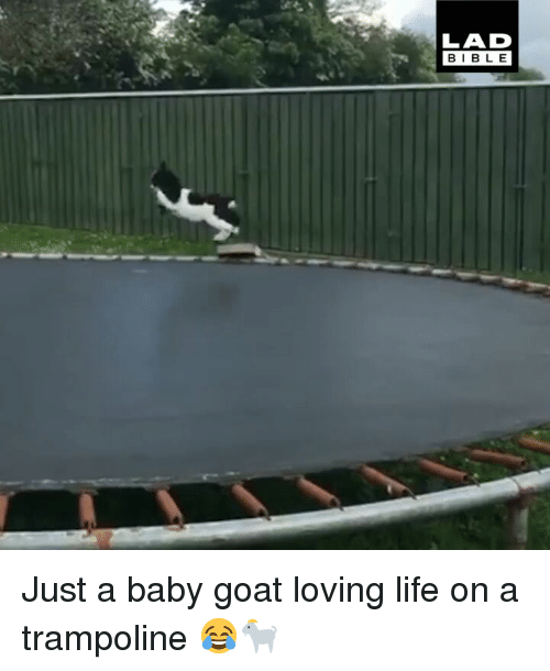 Loving Life: LAD  BIBL E Just a baby goat loving life on a trampoline 😂🐐