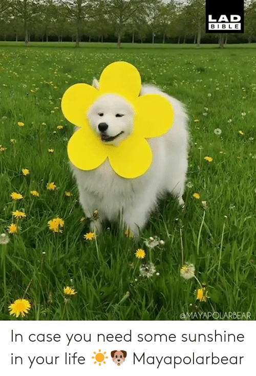 Dank, Life, and Bible: LAD  BIBLE  AYAPOLAR In case you need some sunshine in your life ☀️🐶  Mayapolarbear