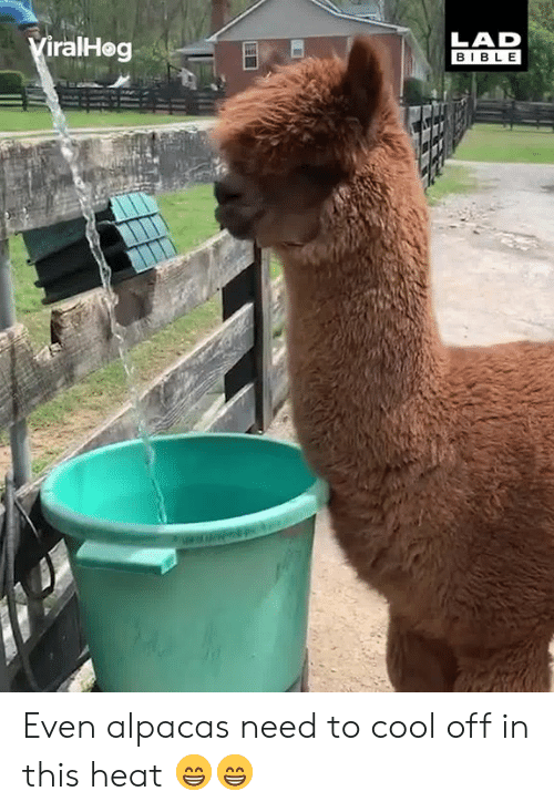 Cool Off: LAD  BIBLE  iralHog Even alpacas need to cool off in this heat 😁😁