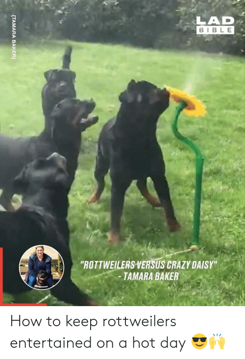 "Crazy, Dank, and Bible: LAD  BIBLE  ""ROTTWEILERS VERSUS CRAZY DAISY""  -TAMARA BAKER  [TAMARA BAKER How to keep rottweilers entertained on a hot day 😎🙌"