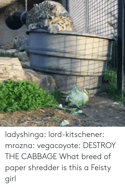 Tumblr, Blog, and Girl: ladyshinga:  lord-kitschener:  mrozna:  vegacoyote: DESTROY THE CABBAGE What breed of paper shredder is this  a Feisty girl