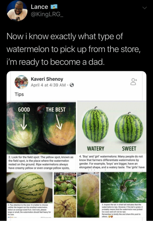 Inspect: Lance  @KingLRG  Now i know exactly what type of  watermelon to pick up from the store,  i'm ready to become a dad.  Kaveri Shenoy  April 4 at 4:39 AM  Tips  GOOD  THE BEST  WATERY  SWEET  4. 'Boy and 'girl' watermelons: Many people do not  know that farmers differentiate watermelons by  gender. For example, 'boys' are bigger, have an  elongated shape, and a watery taste. The 'girls' have  2. Look for the field spot: The yellow spot, known as  the field spot, is the place where the watermelon  rested on the ground. Ripe watermelons always  have creamy yellow or even orange-yellow spots,  5. Inspect the tail: A dried tail indicates that the  watermelon is ripe. However, if the tail is green, it  probably means that the watermelon was picked  too soon and will not be ripe.  Remember to kindly like and share this post to  others.  3. Pay attention to the size: It is better to choose  neither the largest nor the smallest watermelon.  Select an average-sized fruit. And note, please:  large or small, the watermelon should feel heavy for  its size.