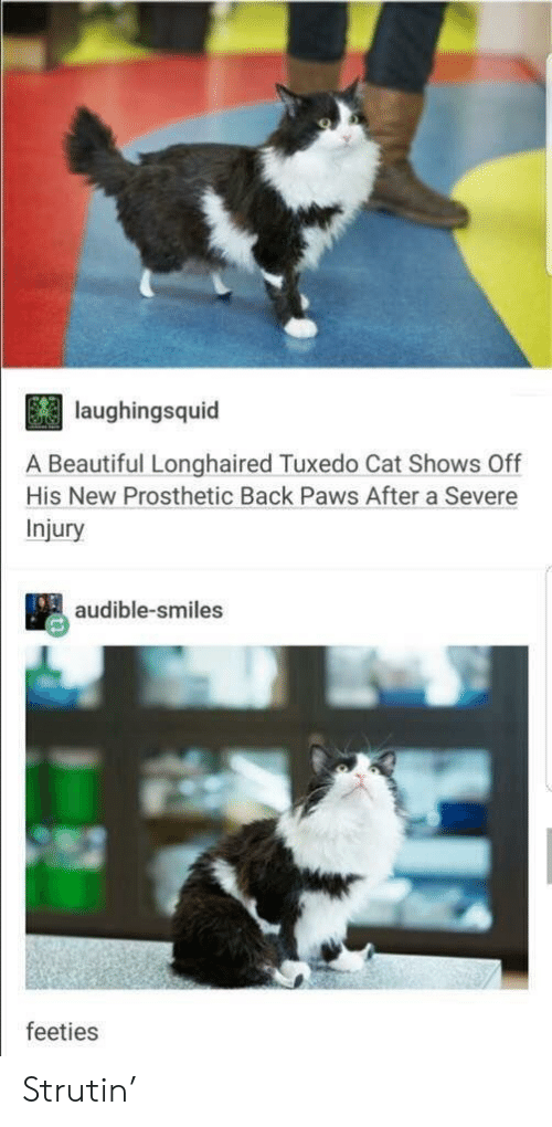 Audible: laughingsquid  A Beautiful Longhaired Tuxedo Cat Shows Off  His New Prosthetic Back Paws After a Severe  Injury  audible-smiles  feeties Strutin'