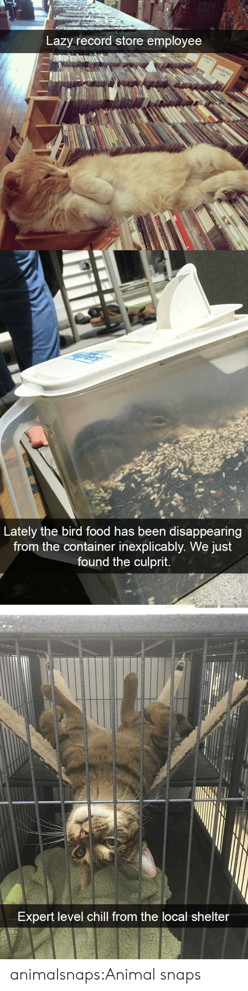the bird: Lazy record store employee   Lately the bird food has been disappearing  from the container inexplicably. We just  found the culprit.   Expert level chill from the local shelter animalsnaps:Animal snaps