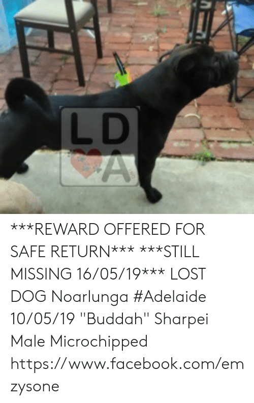 "Facebook, Memes, and Lost: LD ***REWARD OFFERED FOR SAFE RETURN***  ***STILL MISSING 16/05/19***  LOST DOG Noarlunga #Adelaide 10/05/19 ""Buddah"" Sharpei Male  Microchipped  https://www.facebook.com/emzysone"