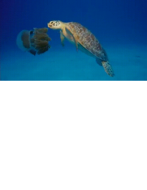 turtles: Leatherbacks and hawkbill turtles feed on jellyfish and keep their populations in check. Plastic looks like jellyfish when it's floating in the water and that's why so many turtles die from ingesting plastic.