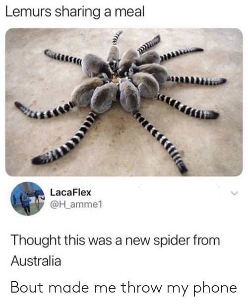 Phone, Spider, and Australia: Lemurs sharing a meal  LacaFlex  @H_amme1  Thought this was a new spider from  Australia Bout made me throw my phone