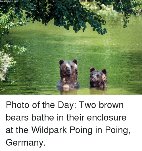 Bathe: Lino Mirgeler/dpa via AP Photo of the Day: Two brown bears bathe in their enclosure at the Wildpark Poing in Poing, Germany.