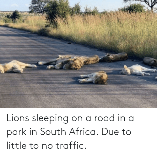 Traffic: Lions sleeping on a road in a park in South Africa. Due to little to no traffic.