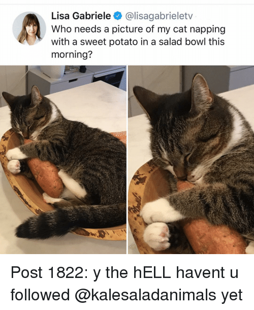 napping: Lisa Gabriele @lisagabrieletv  Who needs a picture of my cat napping  with a sweet potato in a salad bowl this  morning? Post 1822: y the hELL havent u followed @kalesaladanimals yet