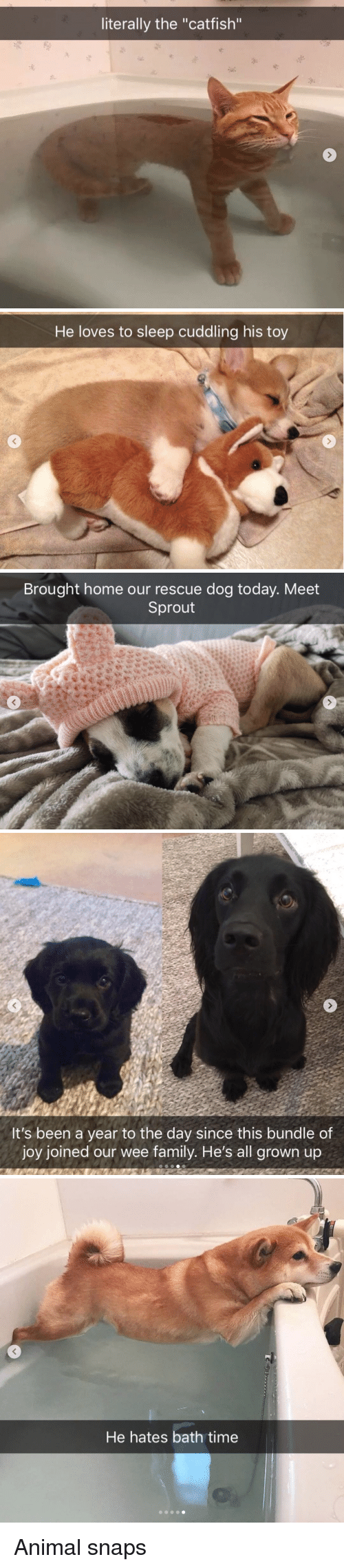 """sprout: literally the """"catfish""""   He loves to sleep cuddling his toy   Brought home our rescue dog today. Meet  Sprout   It's been a year to the day since this bundle of  joy joined our wee family. He's all grown up   He hates bath time Animal snaps"""
