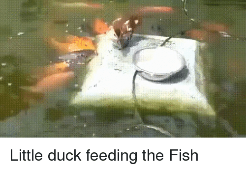 Duck, Fish, and Koi: Little duck feeding the Fish