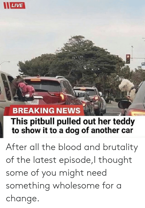 News, Pitbull, and Breaking News: LIVE  BREAKING NEWS  This pitbull pulled out her teddy  to show it to a dog of another car After all the blood and brutality of the latest episode,I thought some of you might need something wholesome for a change.