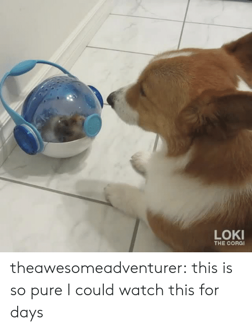 Corg: LOKI  THE CORG theawesomeadventurer:  this is so pure I could watch this for days