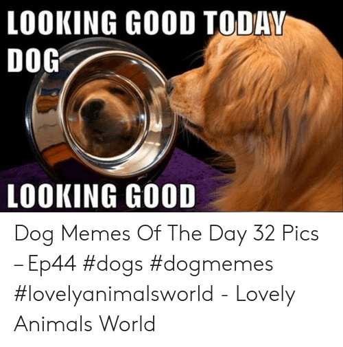 Animals, Dogs, and Memes: LOOKING GOOD TODAV  DOG  LOOKING GOOD Dog Memes Of The Day 32 Pics – Ep44 #dogs #dogmemes #lovelyanimalsworld - Lovely Animals World