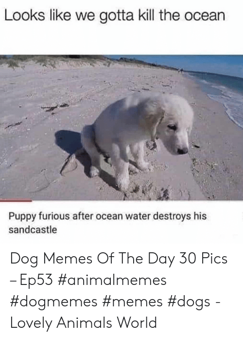 Animals, Dogs, and Memes: Looks like we gotta kill the ocean  Puppy furious after ocean water destroys his  sandcastle Dog Memes Of The Day 30 Pics – Ep53 #animalmemes #dogmemes #memes #dogs - Lovely Animals World
