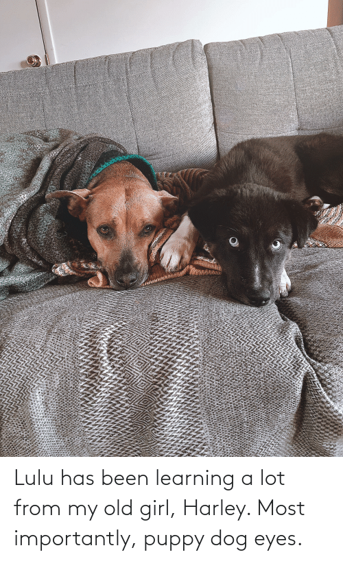 Harley: Lulu has been learning a lot from my old girl, Harley. Most importantly, puppy dog eyes.