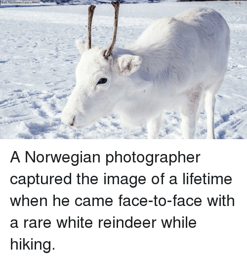 Memes, News, and Image: Mads Nordsveen/Caters News) A Norwegian photographer captured the image of a lifetime when he came face-to-face with a rare white reindeer while hiking.